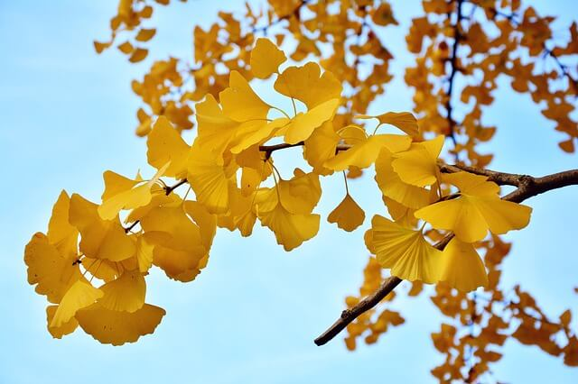 golden ginko leaves